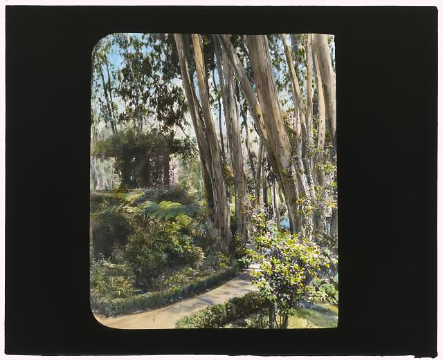 [Unidentified house, possibly Pasadena, California. Eucalyptus and pavilion]