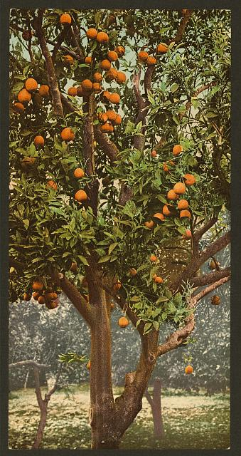 A California orange tree