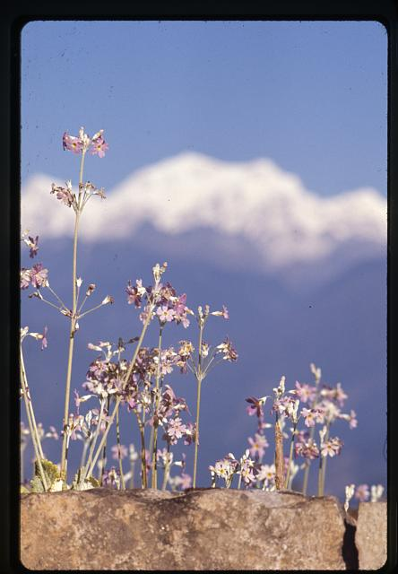 [Primula flowers at Pemayangtse in western Sikkim]