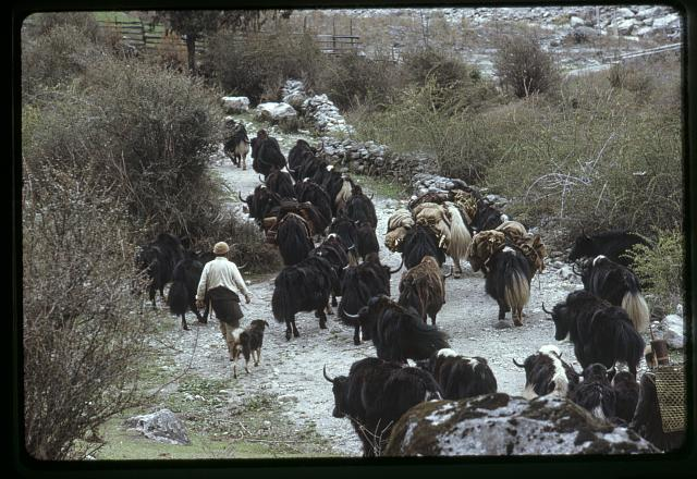 [People herding yaks along a mountain path to higher grazing land, Sikkim]