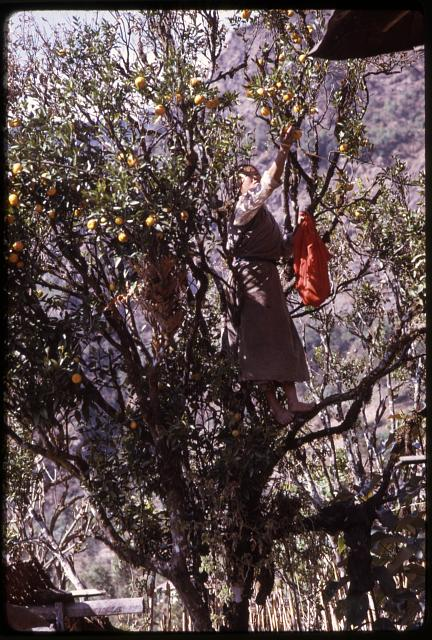 [Woman standing on tree branch, picks oranges, Sikkim]