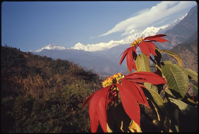 [Poinsettia flowers, mountains in background, Lachung, Sikkim]