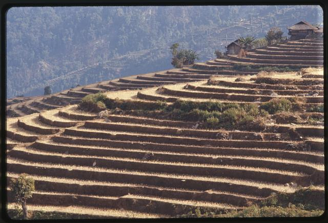 Sikkim, dry season, rice terraces