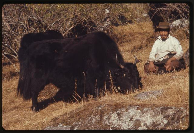 [Man seated on ground next to two yaks, Lachung, Sikkim]