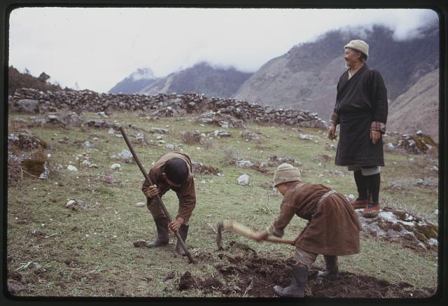 [Headman Pipon standing in rocky field, as children use hoes in earth, Lachung, Sikkim]