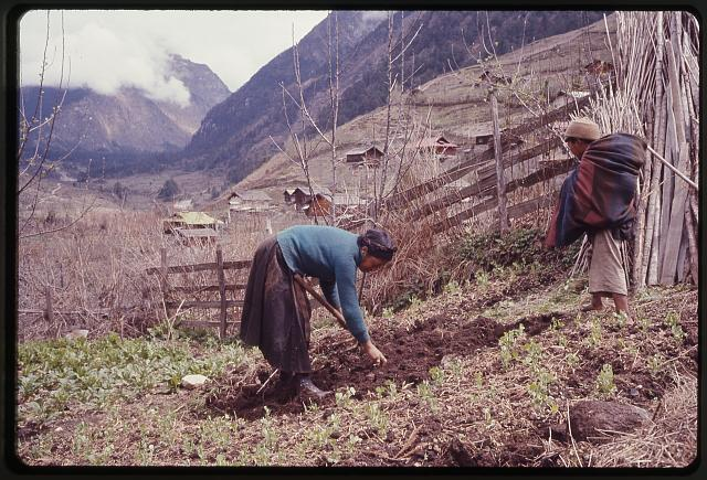 [Woman and boy, members of the Jorbu family, farming in a field next to a fence, Lachung, Sikkim]