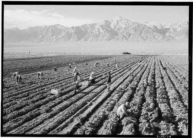 Farm, farm workers, Mt. Williamson in background, Manzanar Relocation Center, California