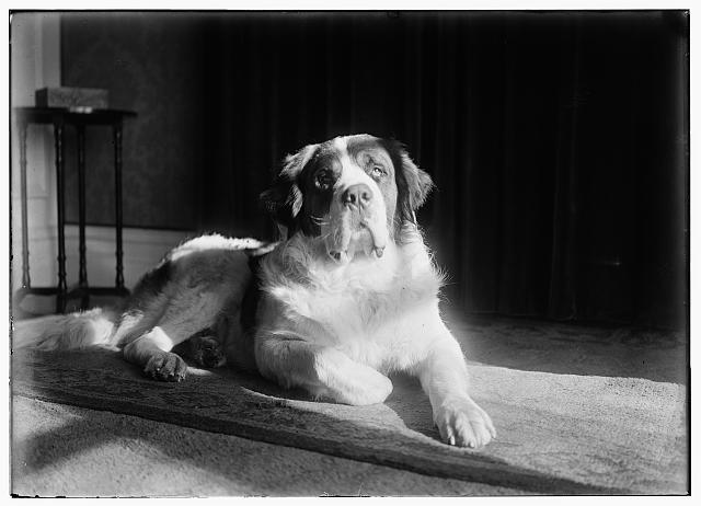 [Scipio, a St. Bernard dog Orville acquired in March, 1917]
