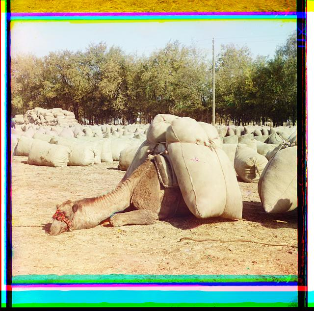 [Camel, loaded with sacks, lying in field of sacks]