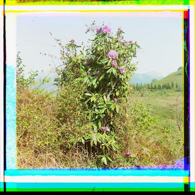 Akhamieny. Rozovyĭ rododendron