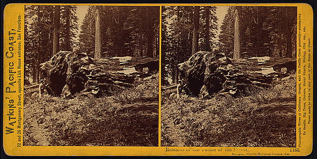 Remains of the Father of the Forest, Mariposa Grove, Mariposa County, Cal.