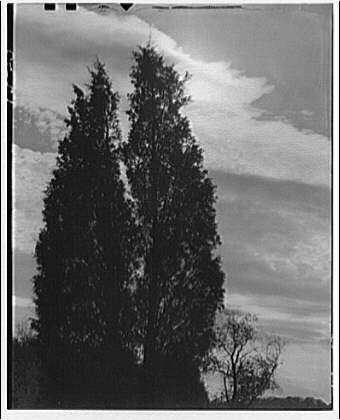 Trees. Cedar trees and clouds III