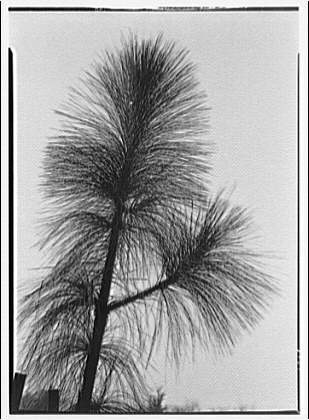 Pine tree. Branch of long needle pine