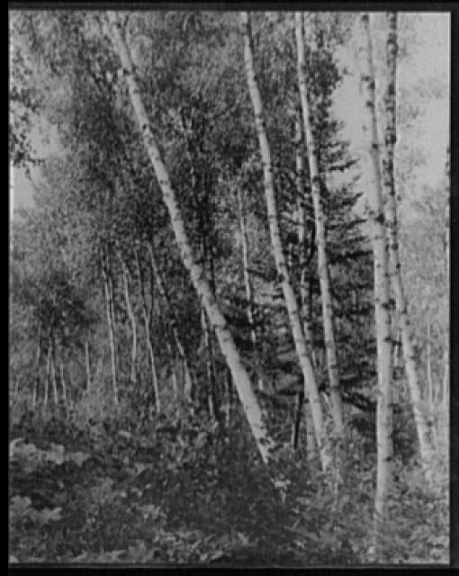 [Birch trees, Maine]