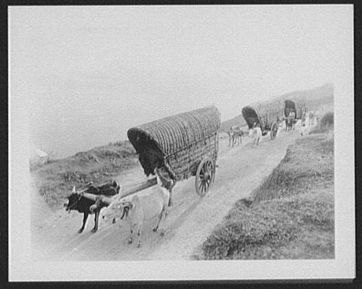 A tea train - down grade; Zebu bullock carts on mountain road near Haputale