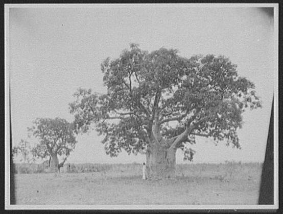 Man standing beside tree with wide trunk, looking out to sea