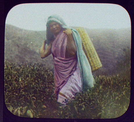 Woman tea picker in field